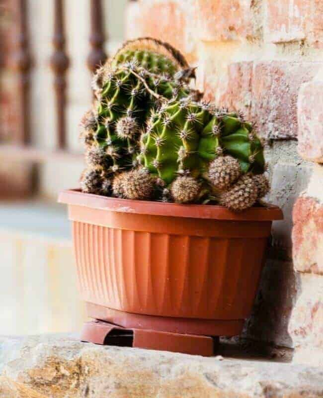 Does My Cactus Need More Water Air Plant Garden How To Water Succulents Planting Succulents