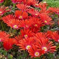 Red Mountain Flame Ice Plant | Delosperma Red Mountain Flame | High Country Gardens