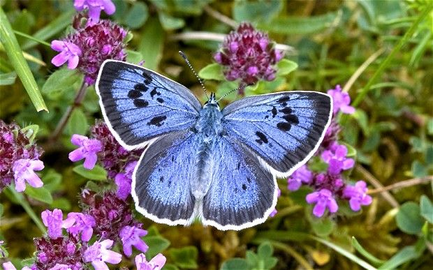 Butterflies 'more endangered than tigers': Beautiful Butterflies, Glorious Natural, Blue Butterflies,  Lycaenid Butterflies, Google Search, Tigers, Adoni Blue, Blue Polyommatus, Large Blue