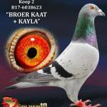 "002 - B17-6038623 ""BROER KAAT + KAYLA"" ♂ | De Duif"