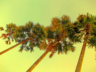 This coconut palm trees give to inspire me about the power and spirit of friendship and togatherness.