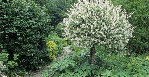 Auf Hochstämmchen veredelte Zier-Weiden wie die Harlekin-Weide oder die Hängende Kätzchen-Weide sind äußerst beliebt. Damit die Pflanzen schön und kompakt bleiben, muss man sie regelmäßig schneiden.