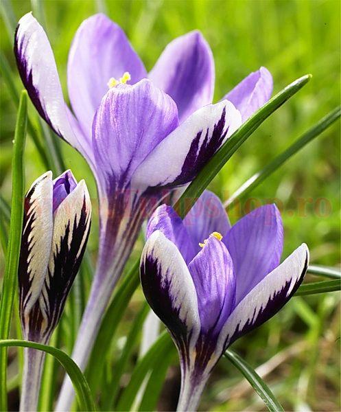 Bulbi Branduse Spring Beauty (Crocus)