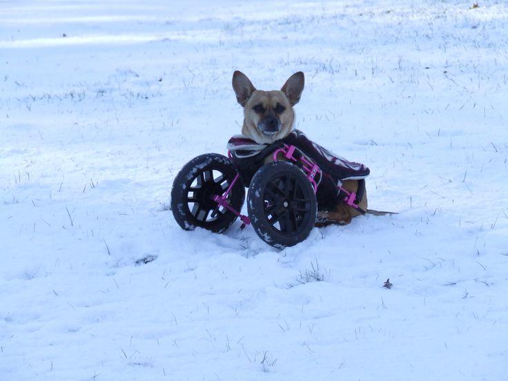 Willa sitting pretty in her Eddie's Wheels front wheel dog wheelchair.
