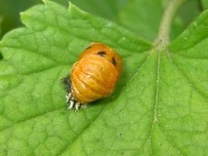 Insectes noir et orange ? Apprenez à reconnaître les larves de coccinelles • Hellocoton.fr