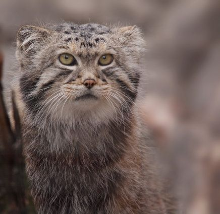 Why The Pallas' Cat Should Become Your New Favorite Animal | The Huffington Post