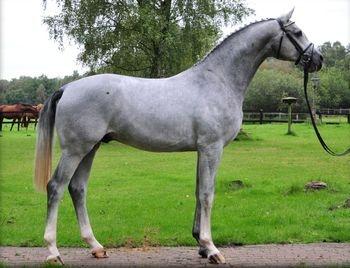 A beautiful, Dapple Grey, Hanoverian horse.    Foto des Hengstes Chalet's Erbe