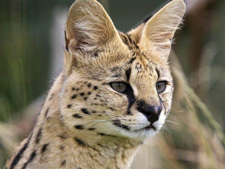 Serval - De Zonnegloed - Dierenpark - Dieren opvangcentrum - Sanctuary