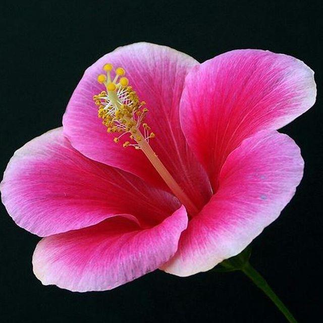 Hibiscus of the Day   #Panamá  http://ift.tt/1fAoCMk                                                                                                                                                                                 Mais