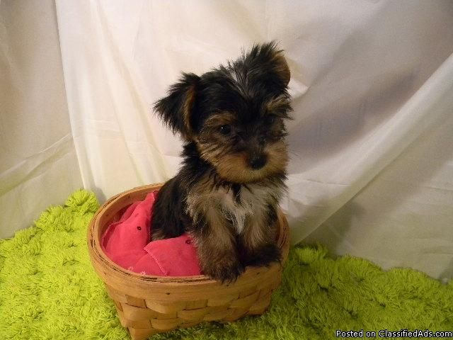 Cava-poo-chon | Yorkies, Shih Tzu, Bichon Mixes - Price: 250 in West Lafayette ...