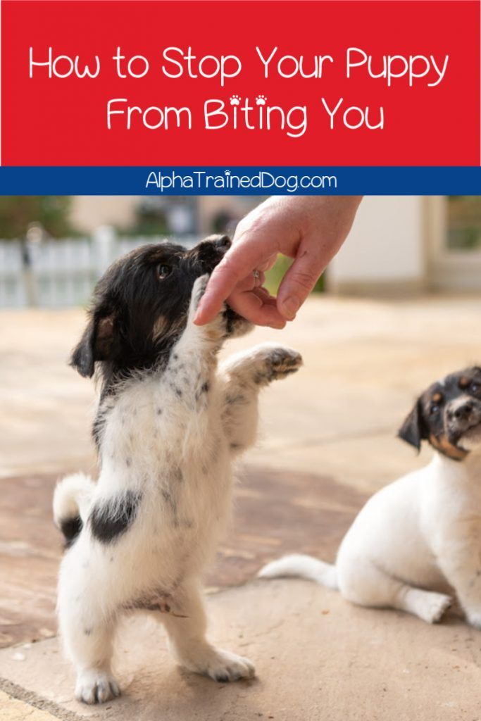 3 Easy Methods To Stop Puppy Biting Effectively Alpha Trained Dog Puppy Biting Stop Puppy From Biting Puppy Training Biting