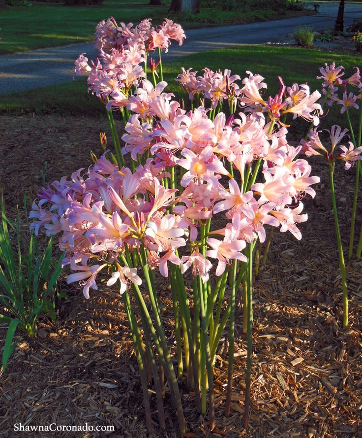 Bloom Time: August to September    bPlant a Pink Surprise Lily Bulb (Lycoris squamigera) - Shawna Coronado