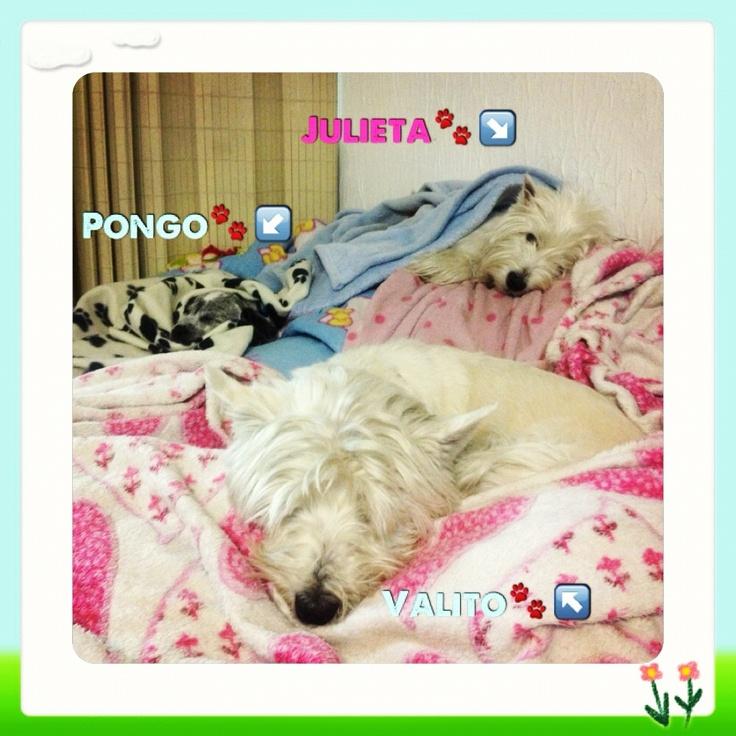 #Potingos #westies #valito #julieta #pongo