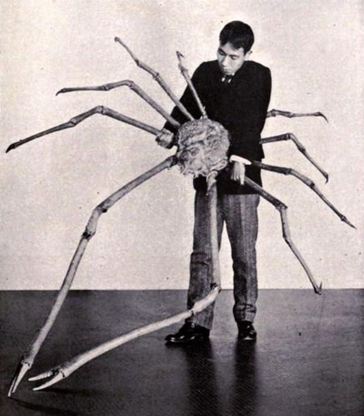 The Giant Spider Crab from Japan.