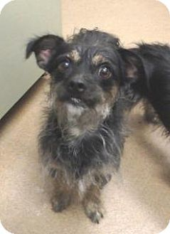 Terrier (Unknown Type, Medium)/Yorkie, Yorkshire Terrier Mix Dog for adoption in Apple Valley, California - Benny #159652