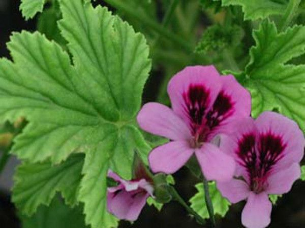 Pelargonium Orange Fizz, Fibrex