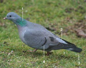 Pigeon colombin (Columba oenas)