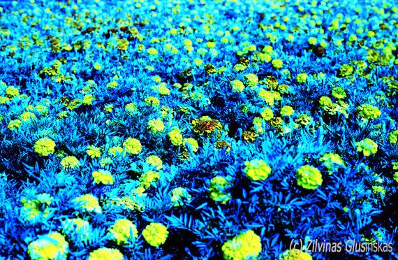 Fine Art original photo 4 3/4 x 7 inches, Yellow Flowers photo, Flowers photography , Van Gogh colors, signed limited edition