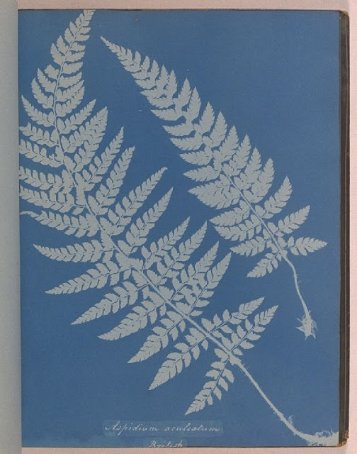 Cyanotypes by Anna Atkins [ 16 March 1799 – 9 June 1871 ]    Atkins was a pioneer in photographic history; She created these images by placing plant specimens upon light-sensitized paper & simply exposing it to sunlight.