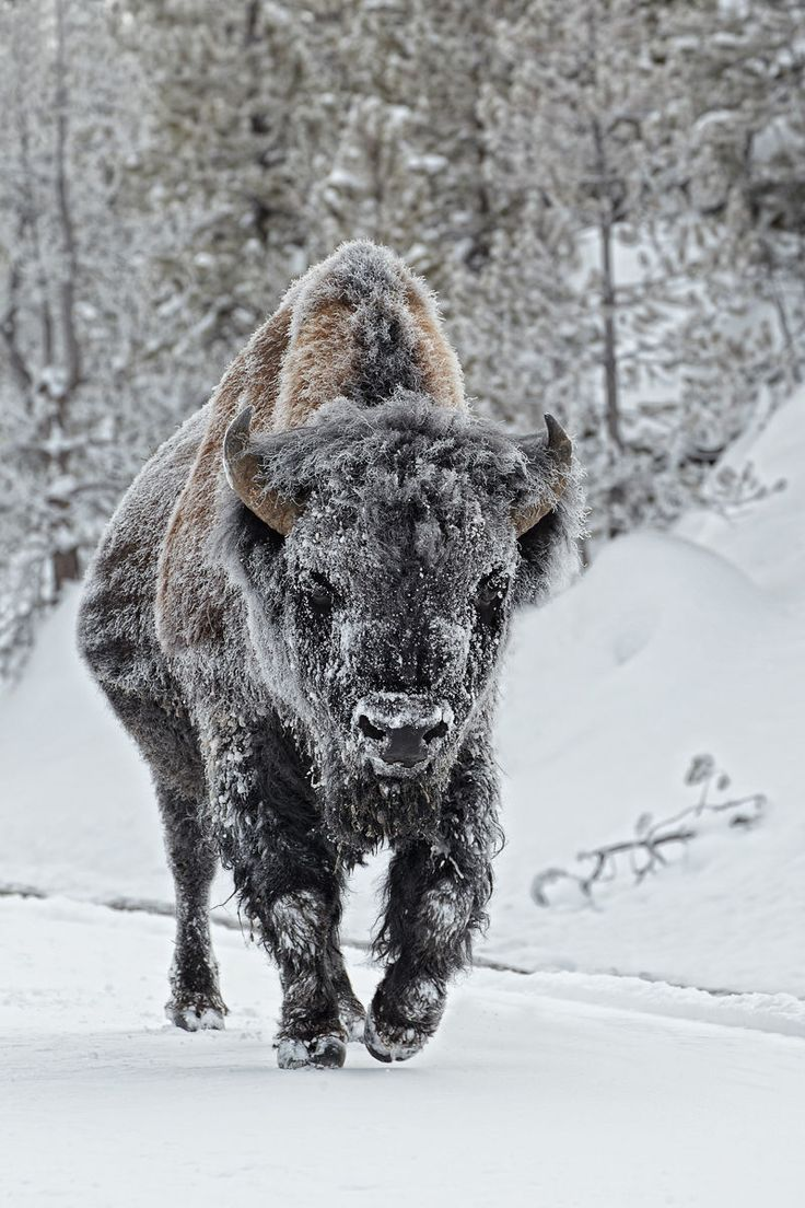 25 Best Ideas About American Bison On Pinterest Usa
