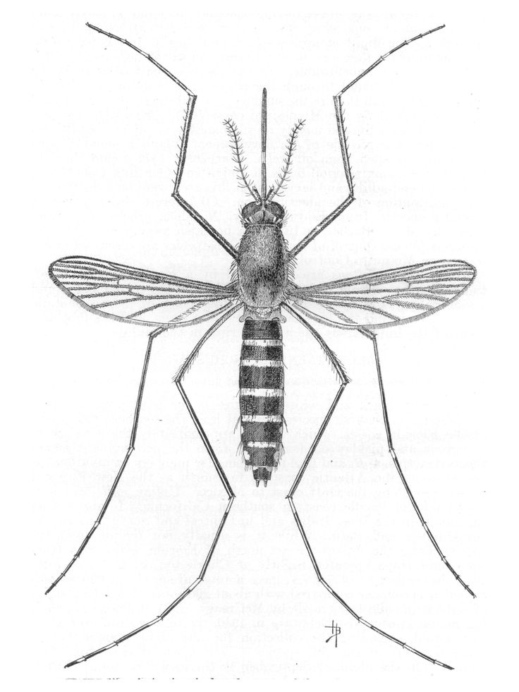 mosquito drawing - Google Search