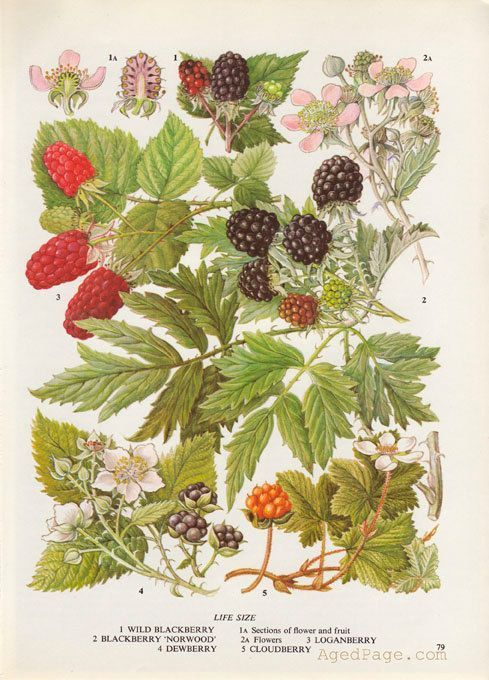 Blackberry Fruit Print, Botanical Illustration, Vintage Kitchen Decor, Wall Art: