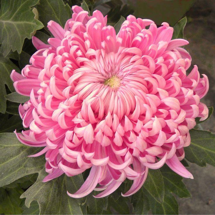 Irregular Incurve Mum Chrysanthemum X Morifolium Hagoromo Flower Seeds Chrysanthemum Plant Beautiful Flowers Pictures