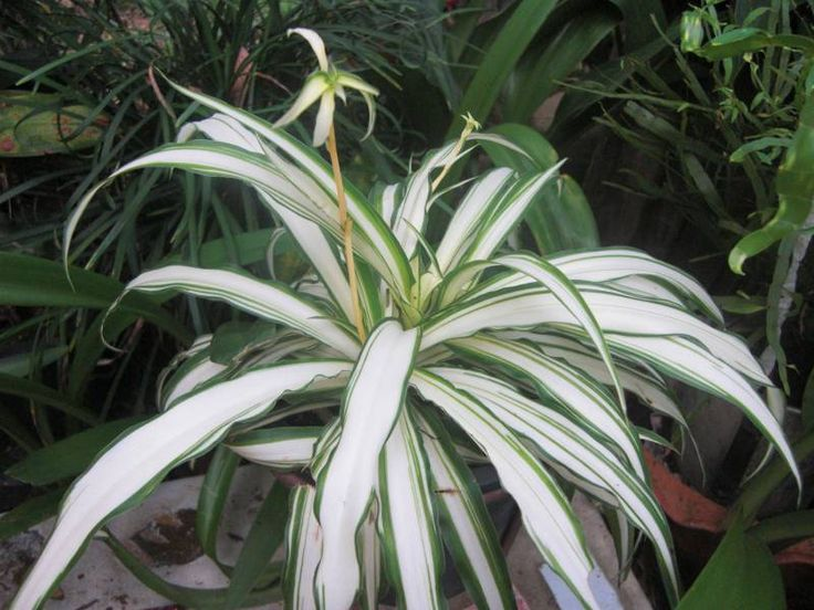 spider plants thai garden for cats pinterest spider plants plants and. Black Bedroom Furniture Sets. Home Design Ideas