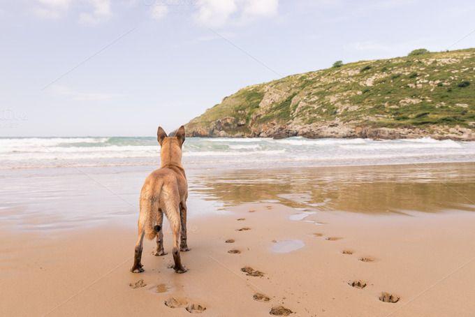 Belgian Malinois dog in the beach by Irantzu Arbaizagoitia on Creative Market