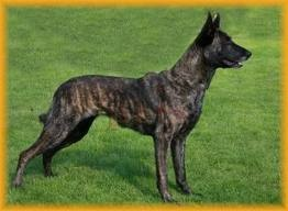 Dutch Shepherd Dog likes to be busy and is highly protective for families