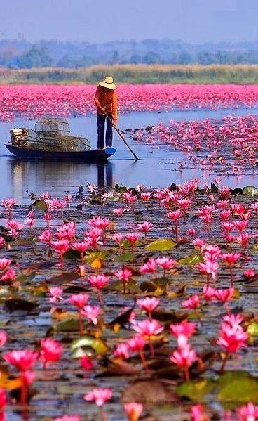 Red Lotus Sea (Nong Han Kumphawapi Lake), Located in Udon Thani, Thailand  http://tielandtothailand.com/red-lotus-sea-udon-thani/