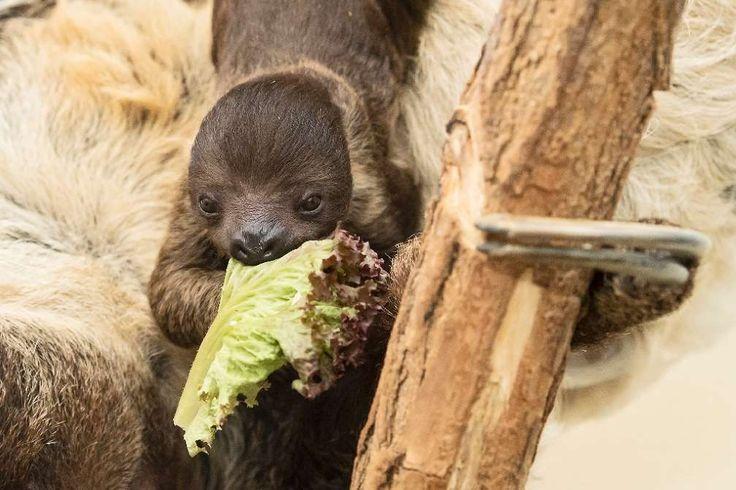 Sloth in Viennas zoo_Knapp einen Monat nach der Geburt eines Zweifingerfaultiers hat der Tiergarten Schönbrunn in Wien erste Fotos des Nachwuchses veröffentlicht.
