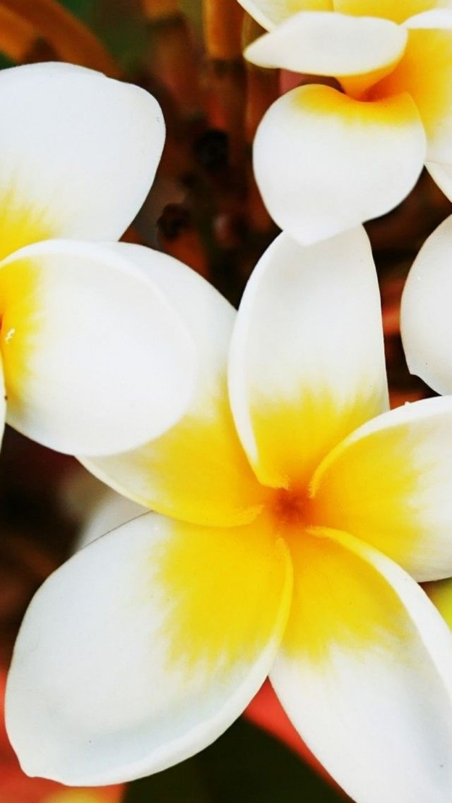 Frangipani-Flowers                                         Reminds me of Hawaii!!