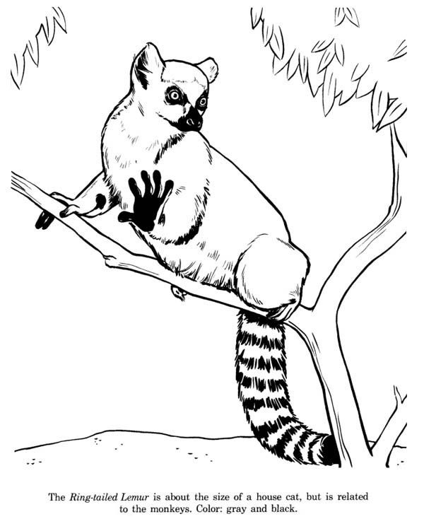 Cat Sized Ring Tailed Lemur Coloring Page : Color Luna ...
