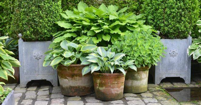 Der er stort ikke nogen nemmere krukkevækster end hosta. De giver frodighed og lyser op på en skygget plads i haven. Plant...