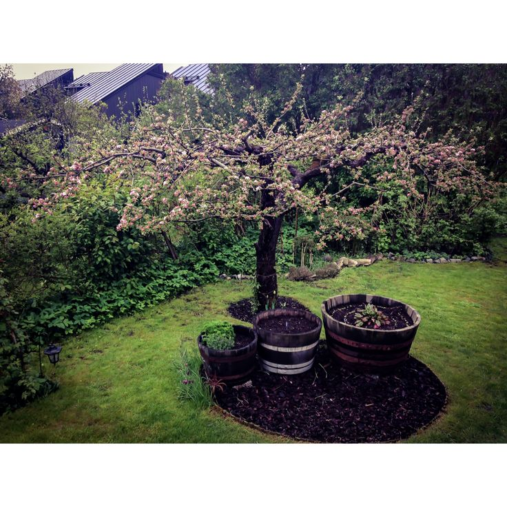 Maj - Äppelträden blommar / apple trees in bloom