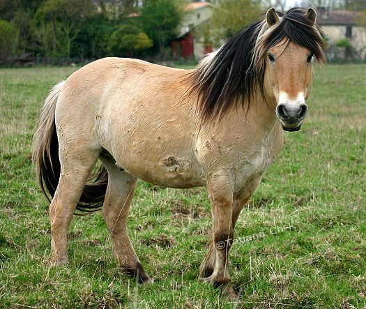 Fjord Horses Norwegian.... Gorgeous!, If I had one of these horses I would let the mane grow out like this one, it's so pretty long!