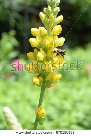Yellow False Indigo flower, with bee