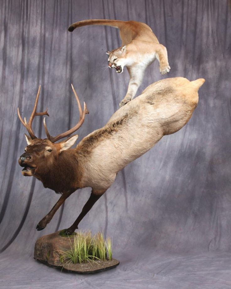 1000 Images About Mountain Lion Mounts On Pinterest