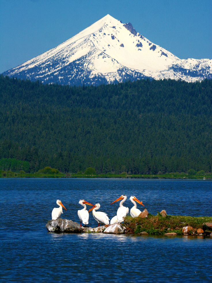A spectacular capture of Pelicans at Klamath Lake. Mt McLoughlin, in the background, is a steep-sided lava cone built on top of a shield volcano: Cascade Range of S OR