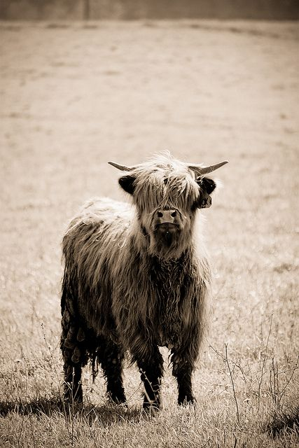 @Patrick Schultz Who does this look like? Distant cousin? Scottish Highland Cow