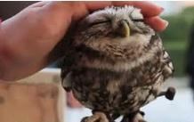 cute baby owl photo