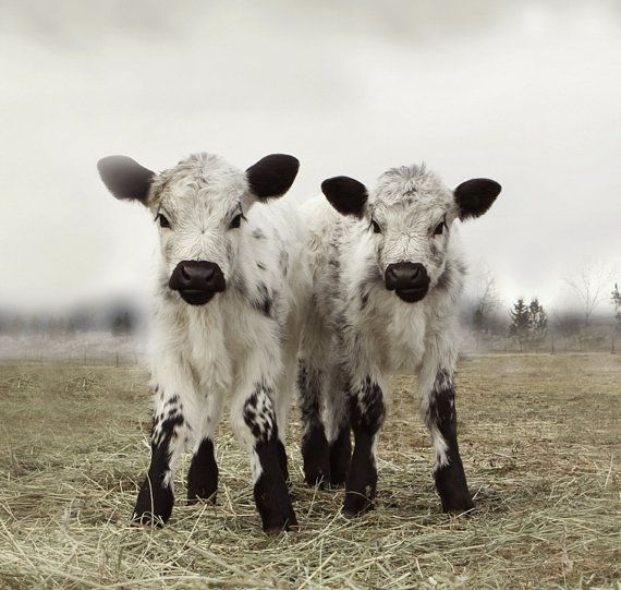 Animal Photography  Twin Calves White Cow Portrait French Country Decor 30x30 Fine Art Photography via Etsy