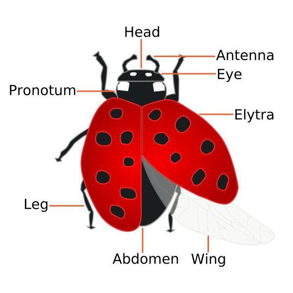 Ladybugs Facts