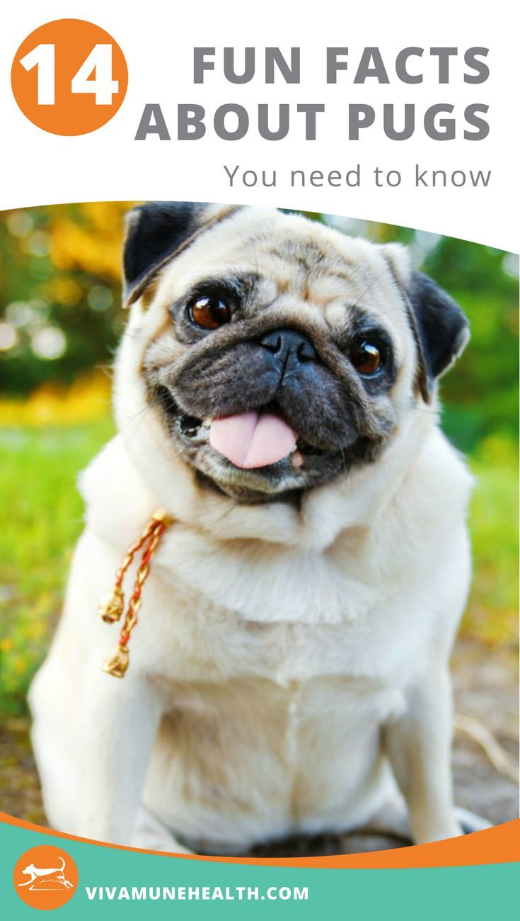 Fourteen Fun Facts About Pugs You Need To Know Pug Facts Dog