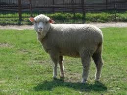 Zaznaj relaksu w Józefowie ! http://puszystaowca.pl/wypas-owiec-jozefow/