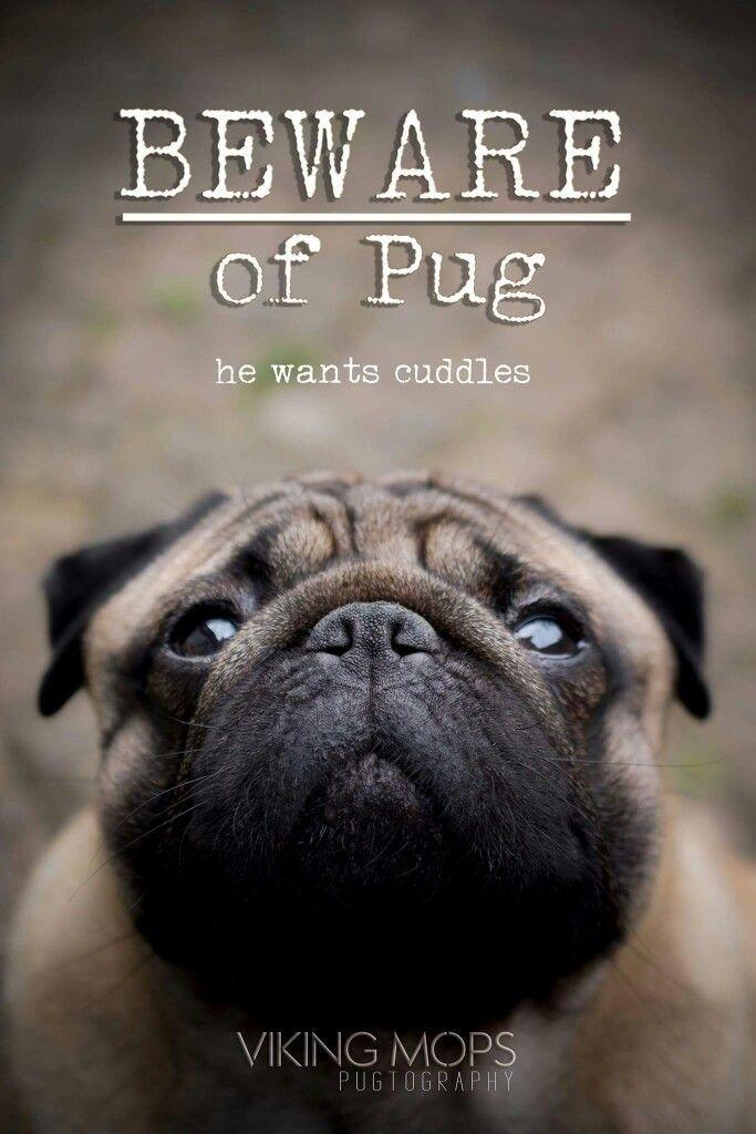 Best 25+ Pug quotes ideas on Pinterest   Pugs, Pug puppies ...