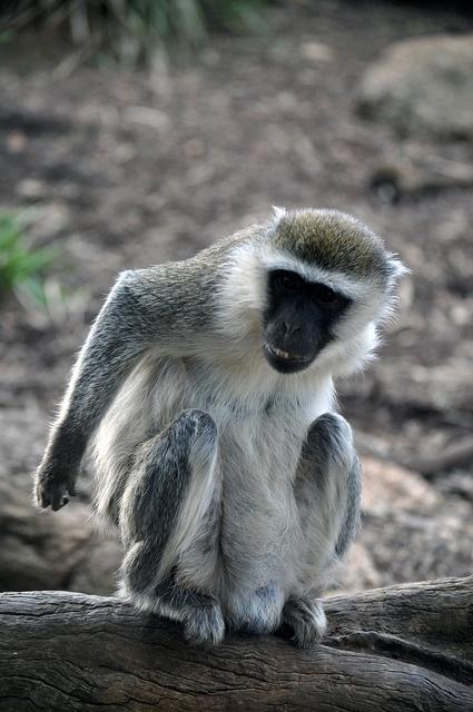 Vervet Monkey at the Werribee Zoo Melbourne Australia by JanetGrima, via Flickr