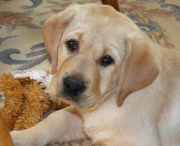 Labrador Retriever Pictures, Information & Forum   Just Labradors