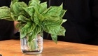 Clip | CHOW Tip: How to Store Basil    Daniel Duane shares his method for keeping basil fresh. 4/8/09